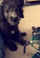 Bedlington Terrier Puppies for sale in Denver, CO, USA. price: NA