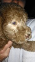Bedlington Terrier Puppies for sale in New York, IA 50238, USA. price: NA