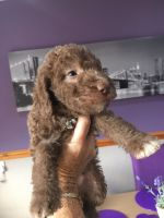Bedlington Terrier Puppies for sale in Texas City, TX, USA. price: NA