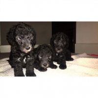Bedlington Terrier Puppies for sale in Raleigh, NC, USA. price: NA
