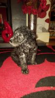 Bedlington Terrier Puppies for sale in Castle Pines, CO 80108, USA. price: NA