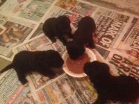 Bedlington Terrier Puppies for sale in Washington, DC, USA. price: NA