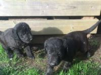 Bedlington Terrier Puppies for sale in Dublin, OH, USA. price: NA