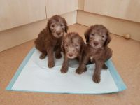 Bedlington Terrier Puppies for sale in Austin, TX, USA. price: NA