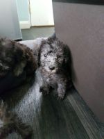 Bedlington Terrier Puppies for sale in Jersey City, NJ, USA. price: NA