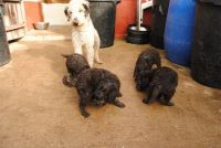 Bedlington Terrier Puppies for sale in Seattle, WA, USA. price: NA