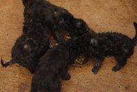Bedlington Terrier Puppies for sale in Massachusetts Ave, Cambridge, MA, USA. price: NA