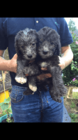 Bedlington Terrier Puppies for sale in NJ-38, Cherry Hill, NJ 08002, USA. price: NA