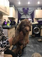 Bedlington Terrier Puppies for sale in San Diego, CA, USA. price: NA