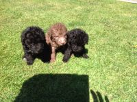 Bedlington Terrier Puppies for sale in Atlanta, GA, USA. price: NA