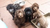 Bedlington Terrier Puppies for sale in Chicago, IL, USA. price: NA