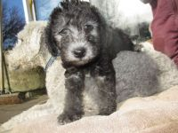 Bedlington Terrier Puppies for sale in Bellevue, WA, USA. price: NA