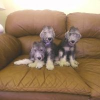 Bedlington Terrier Puppies for sale in Huntington, NY, USA. price: NA
