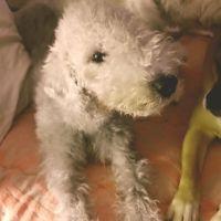 Bedlington Terrier Puppies Photos