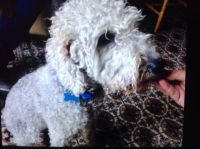 Bedlington Terrier Puppies for sale in Bell Gardens, CA 90202, USA. price: NA