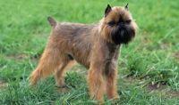 belgian griffon dog