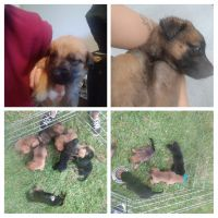Belgian Shepherd Puppies for sale in Little Rock, AR, USA. price: NA