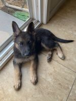 Belgian Shepherd Puppies for sale in Brentwood, CA 94513, USA. price: NA