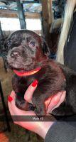 Belgian Shepherd Puppies for sale in Bainbridge, NY 13733, USA. price: NA