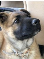 Belgian Shepherd Puppies for sale in San Diego, CA, USA. price: NA