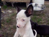Belgian Shepherd Puppies for sale in Houston, TX, USA. price: NA