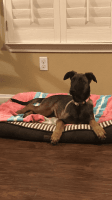 Belgian Shepherd Puppies for sale in Menifee, CA, USA. price: NA