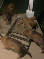 Belgian Shepherd Puppies for sale in Kingston, OH 45644, USA. price: NA