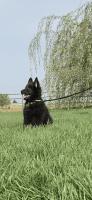 Belgian Shepherd Dog (Groenendael) Puppies for sale in Meridian, ID, USA. price: NA