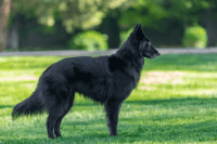 belgian shepherd dog groenendael dog