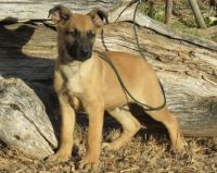 Belgian Shepherd Dog (Laekenois) Puppies for sale in Overland Park, KS, USA. price: NA