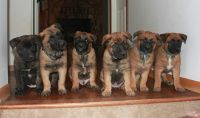 Belgian Shepherd Dog (Laekenois) Puppies for sale in Oklahoma City, OK, USA. price: NA
