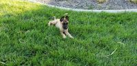 Belgian Shepherd Dog (Laekenois) Puppies Photos