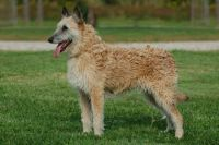 belgian shepherd dog laekenois dog