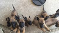 Belgian Shepherd Dog (Malinois) Puppies for sale in Edgewater, FL, USA. price: NA