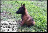 Belgian Shepherd Dog (Malinois) Puppies for sale in Springfield, MO, USA. price: NA