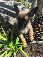 Belgian Shepherd Dog (Malinois) Puppies for sale in Biloxi, MS, USA. price: NA