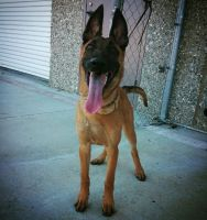 Belgian Shepherd Dog (Malinois) Puppies for sale in Thousand Palms, CA 92276, USA. price: NA