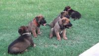 Belgian Shepherd Dog (Malinois) Puppies for sale in Carlsbad, CA, USA. price: NA