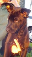 Belgian Shepherd Dog (Malinois) Puppies for sale in Jacksonville, FL, USA. price: NA