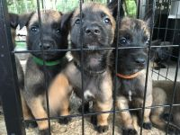 Belgian Shepherd Dog (Malinois) Puppies for sale in San Antonio, TX, USA. price: NA