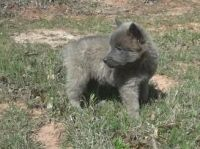 Belgian Shepherd Dog (Malinois) Puppies for sale in San Francisco, CA, USA. price: NA