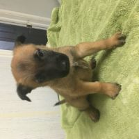 Belgian Shepherd Dog (Malinois) Puppies for sale in Council, NC 28434, USA. price: NA
