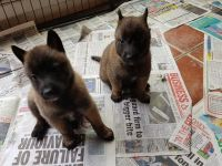 Belgian Shepherd Dog (Malinois) Puppies for sale in Newark, NJ, USA. price: NA