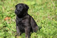 Belgian Shepherd Dog (Malinois) Puppies for sale in Boston, MA, USA. price: NA