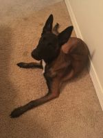 Belgian Shepherd Dog (Malinois) Puppies for sale in Virginia Beach, VA, USA. price: NA