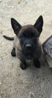 Belgian Shepherd Dog (Malinois) Puppies for sale in AR-98, Emerson, AR 71740, USA. price: NA