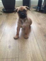 Belgian Shepherd Dog (Malinois) Puppies for sale in New York, IA 50238, USA. price: NA