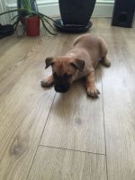 Belgian Shepherd Dog (Malinois) Puppies for sale in Los Angeles, CA, USA. price: NA