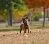 Belgian Shepherd Dog (Malinois) Puppies for sale in Chesapeake, VA 23322, USA. price: NA