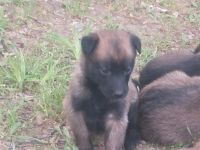 Belgian Shepherd Dog (Malinois) Puppies for sale in Roland, AR 72135, USA. price: NA
